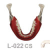 BoneModels L022CS 1 100x100 - L-022: Mandible with fixed teeth and soft tissue.