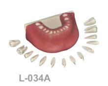 BoneModels L034A 1 220x174 - L-034A: Mandible with all removable teeth with soft tissue.