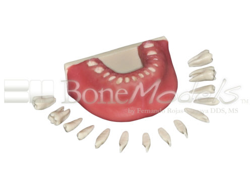 BoneModels L034A 01 1 500x375 - L-034A: Mandible with all removable teeth with soft tissue.