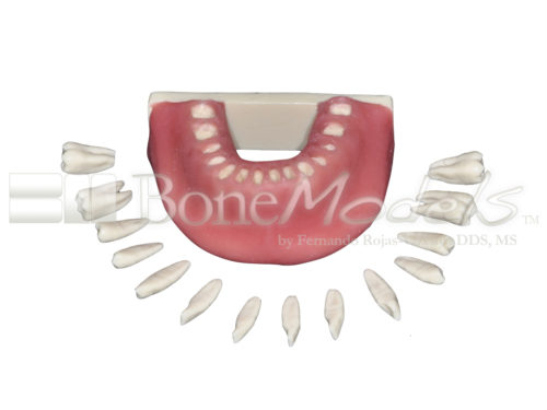 BoneModels L034A 02 1 500x375 - L-034A: Mandible with all removable teeth with soft tissue.