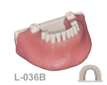 BoneModels L036B 1 220x174 - L-036B: Mandible for X rays with different densities and soft tissue.