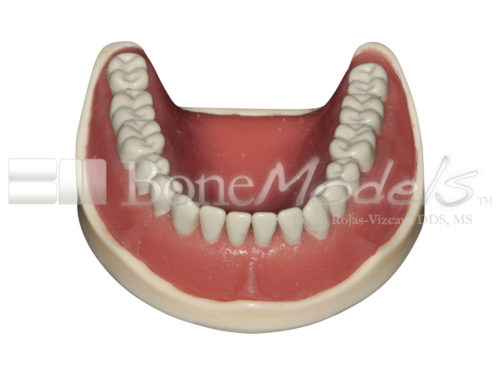 BoneModels L047B 02 1 500x375 - L-047B: Mandible with ivorine teeth. This model fits with U-066B maxilla.