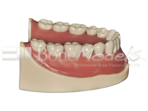 BoneModels L047B 03 1 500x375 - L-047B: Mandible with ivorine teeth. This model fits with U-066B maxilla.