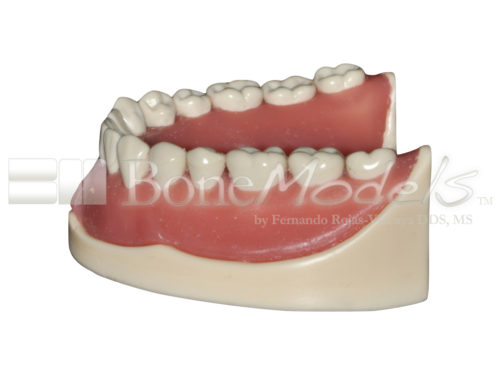 BoneModels L047B 04 1 500x375 - L-047B: Mandible with ivorine teeth. This model fits with U-066B maxilla.