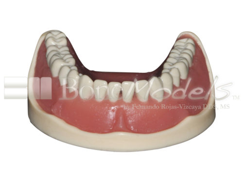 BoneModels L047B 05 1 500x375 - L-047B: Mandible with ivorine teeth. This model fits with U-066B maxilla.