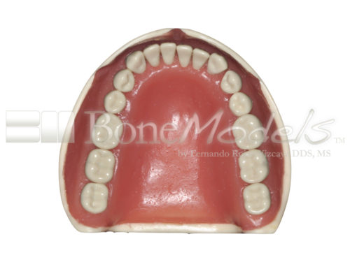 BoneModels L047B 07 1 500x375 - L-047B: Mandible with ivorine teeth. This model fits with U-066B maxilla.