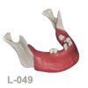BoneModels L049 1 100x100 - L-048: Partially edentulous mandible with healed ridges and sockets without soft tissue.