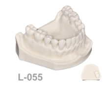 BoneModels L055 1 220x174 - L-055: Mandible model with some Ivorine teeth in the left side without soft tissue.