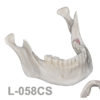 BoneModels L058CS 1 100x100 - L-059CS: Mandibular model with some impacted teeth with cortical and cancellous bone with soft tissue.