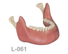 BoneModels L061 1 220x174 - L-061: Mandibular model with some clear roots, white crown and a window to see the nerve.