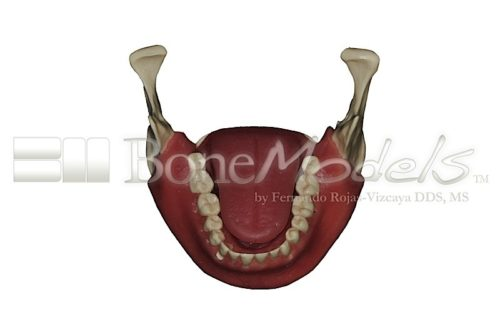 BoneModels L062 05 500x332 - L-068A: Mandible with fixed teeth and soft tissue with tongue.