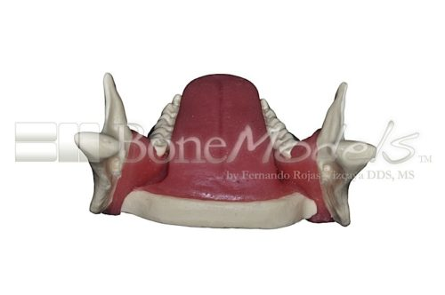 BoneModels L062 07 500x332 - L-068A: Mandible with fixed teeth and soft tissue with tongue.