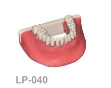 BoneModels LP040 1 220x174 - LP-040: Calculus teeth mandible with soft tissue. Type 4.