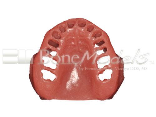 BoneModels STU009 06 500x375 - STU-009: Encía para UP-061
