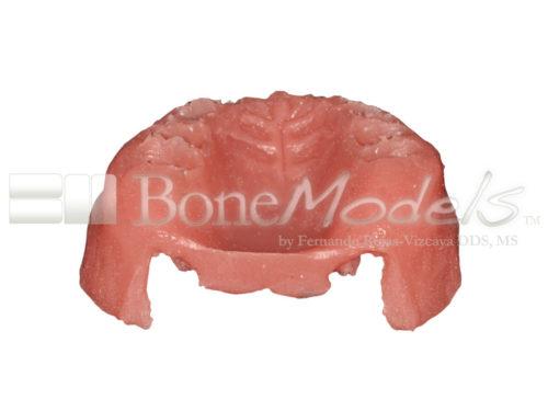 BoneModels STU009 08 500x375 - STU-009: Encía para UP-061