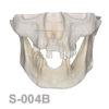 BoneModels S 004B 100x100 - S-005: Half skull with full anatomy.