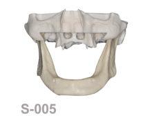 BoneModels S 005 220x174 - S-005: Half skull with full anatomy.