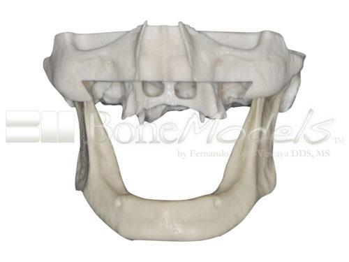 BoneModels S 005 01 500x375 - S-005: Half skull with full anatomy.