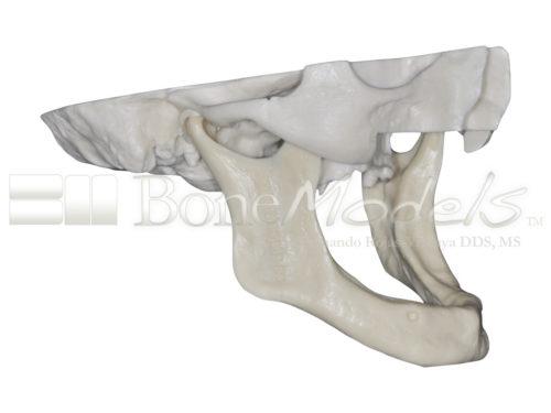 BoneModels S 005 02 500x375 - S-005: Half skull with full anatomy.