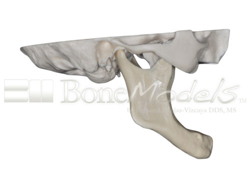 BoneModels S 005 03 500x375 - S-005: Half skull with full anatomy.