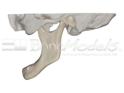 BoneModels S 005 04 500x375 - S-005: Half skull with full anatomy.