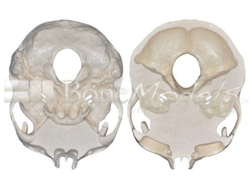 BoneModels S 005 05 500x375 - S-005: Half skull with full anatomy.