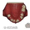 BoneModels U023AB 1 100x100 - U-024A: Partially edentulous maxilla with 1 socket, healed ridges, 1 sinus and soft tissue.