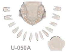 BoneModels U050A 220x174 - U-050A: Maxilla with all removable teeth, without soft tissue and without sinus.