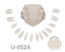 BoneModels U052A 220x174 - U-052A: Maxilla with all removable teeth, without soft tissue and with sinus.
