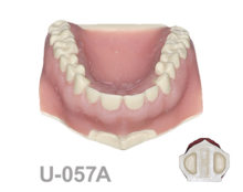 BoneModels U057A 220x174 - U-057A: Maxilla with fixed teeth, with soft tissue and with sinuses.