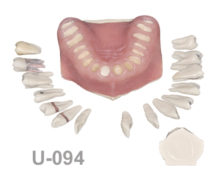 BoneModels U094 1 220x174 - U-094: Maxilla with soft tissue and removable teeth with different features.