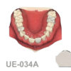 BoneModels UE 034A 100x100 - UE-034C: Maxilla with fixed and endo teeth. Cortical and cancellous bone. Model with soft tissue. Contact points opened on all the teeth to allow for suturing.