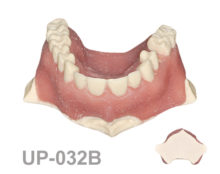 BoneModels UP032B 220x174 - UP-032B: Maxilla with 1 socket and gingival recession Miller class I and II, ideal for soft tissue grafting and root coverage. For the skull.