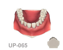 BoneModels UP065 1 220x174 - UP-065: Calculus teeth maxilla with soft tissue. Type 1.