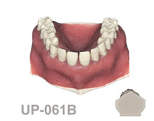 BoneModels UP 061B 220x174 - UP-061B: Calculus teeth maxilla with soft tissue and red periosteum. Type 3.