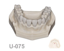 BoneModels U 075 220x174 - U-075: Maxillary model with some Ivorine teeth in the anterior area and right side. Without soft tissue.