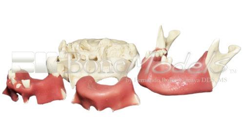 KIT C 3 500x257 - KitC: Skull, 2 Maxillae and 1 mandible - kit composed by: S-004B, U-007B, U-018B and L-031.