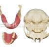 KIT HL 4 100x100 - KitC: Skull, 2 Maxillae and 1 mandible - kit composed by: S-004B, U-007B, U-018B and L-031.
