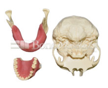KIT HL 4 220x180 - KitHL: Skull, Maxillae and mandible kit composed by: S-004A, UP-032B and L-003CS.